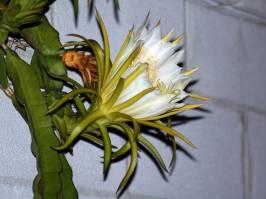Hylocereeae