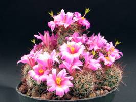 Mammillaria (Haworth 1812)