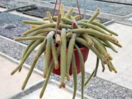 Disocactus (Lindley 1845)