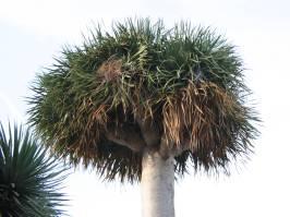Dracaenaceae