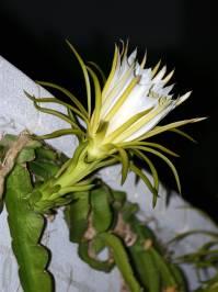 Hylocereus (Britton & Rose 1909)