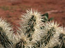 Cylindropuntia (F.M. Knuth 1935)