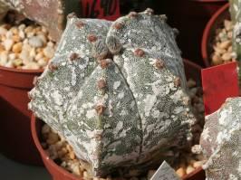 Astrophytum myriostigma 'Hakuun'