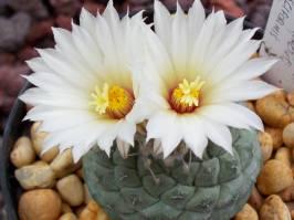 Strombocactus (Britton & Rose 1922)
