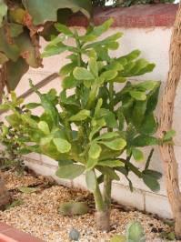 Brasiliopuntia brasiliensis (A. Berger 1926)