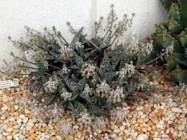 Liliaceae