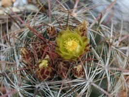 Ferocactus cylindraceus (Orcutt 1926)