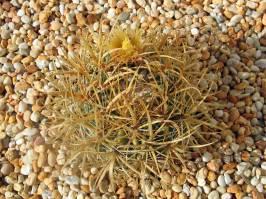 Ferocactus chrysacanthus (Britton & Rose 1922)