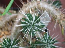 Maihuenioideae (P. Fearn 1996)