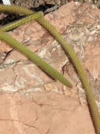 Disocactus flagelliformis ((Linnaeus) Barthlott 1991)