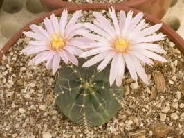 Echinocereus knippelianus (Liebner 1895)