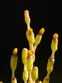 Hatiora salicornioides (Britton & Rose 1915)