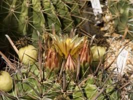 Ferocactus wislizeni ((Engelmann) Britton & Rose 1922)
