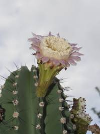 Neobuxbaumia euphorbioides ((Haworth) Buxbaum ex Bravo 1978)