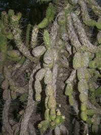 Austrocylindropuntia subulata ((Muehlenpf) Backeb 1941)