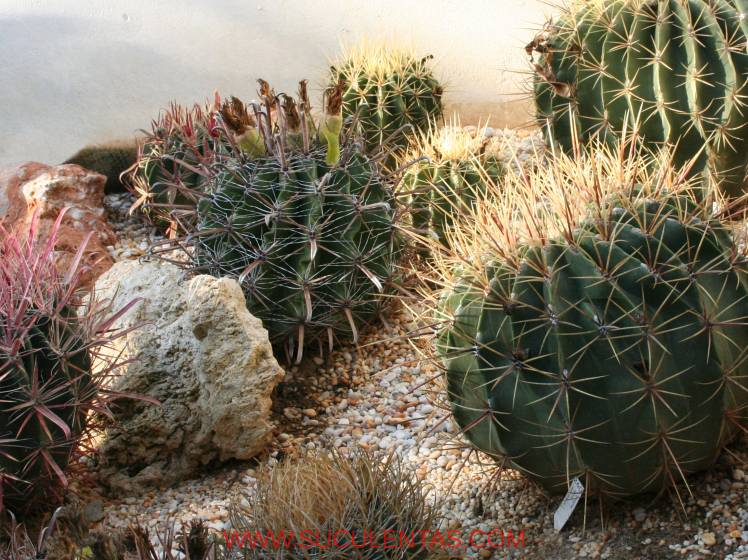 Some ferocactus in my house.