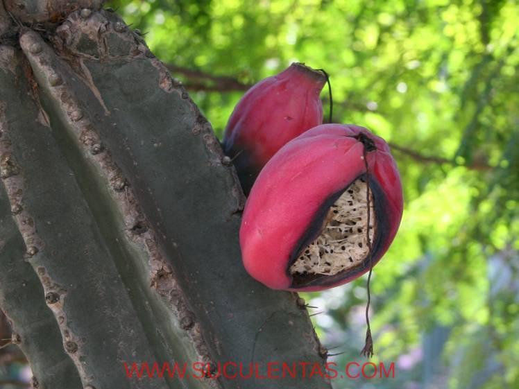 果实成熟后开放。