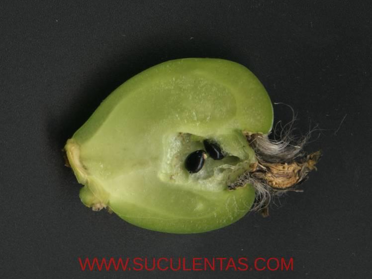 Corte de un fruto maduro, solo se aprecian dos semillas, algo relativamente corriente en esta especie.