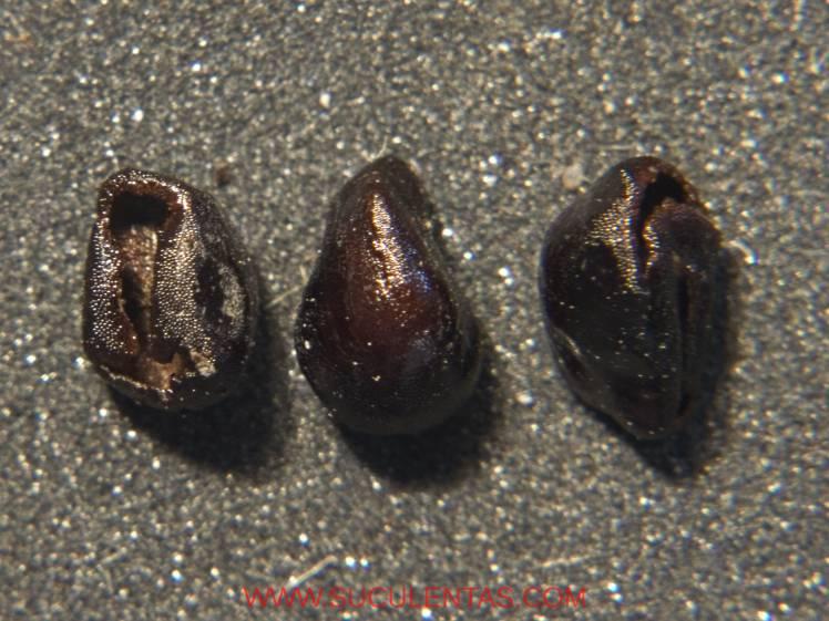 Semillas de unos 3 mm de largo.